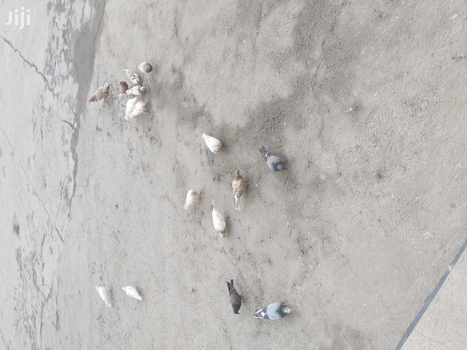 Different Pigeons   Birds for sale in Bole, Addis Ababa, Ethiopia