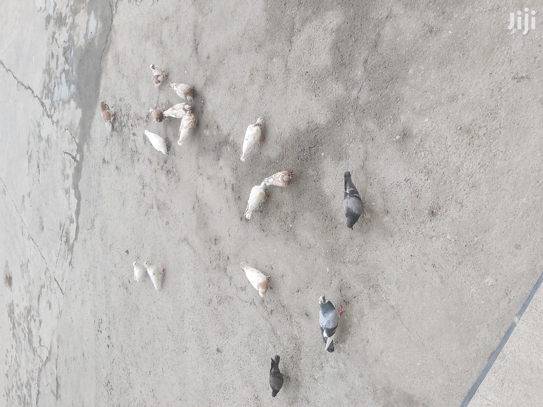 Different Pigeons
