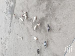 Different Pigeons | Birds for sale in Addis Ababa, Bole