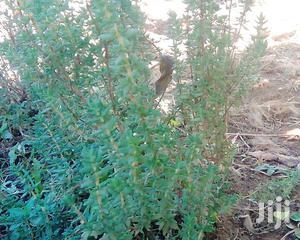 English Thyme ( Thymus Vulgaris)   Meals & Drinks for sale in Amhara Region, Bahir Dar