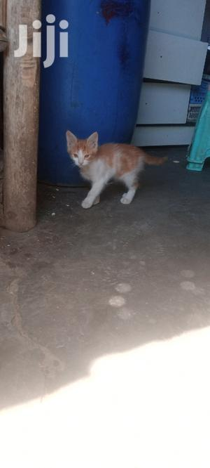 1-3 month Male Purebred Cat | Cats & Kittens for sale in Addis Ababa, Yeka