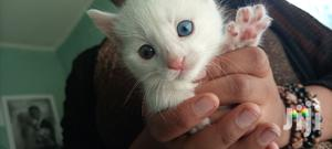 1-3 month Female Purebred Exotic | Cats & Kittens for sale in Addis Ababa, Addis Ketema