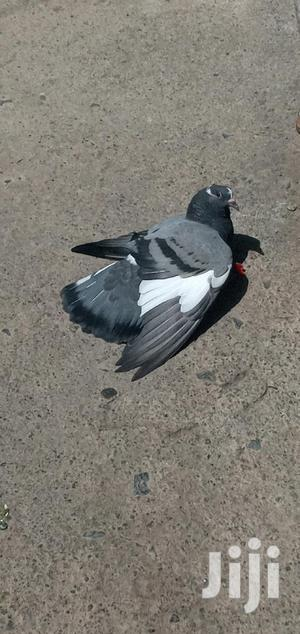 Racing or Homing Pigeon | Birds for sale in Addis Ababa, Bole