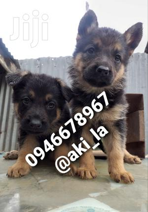 1-3 Month Female Purebred German Shepherd | Dogs & Puppies for sale in Addis Ababa, Yeka