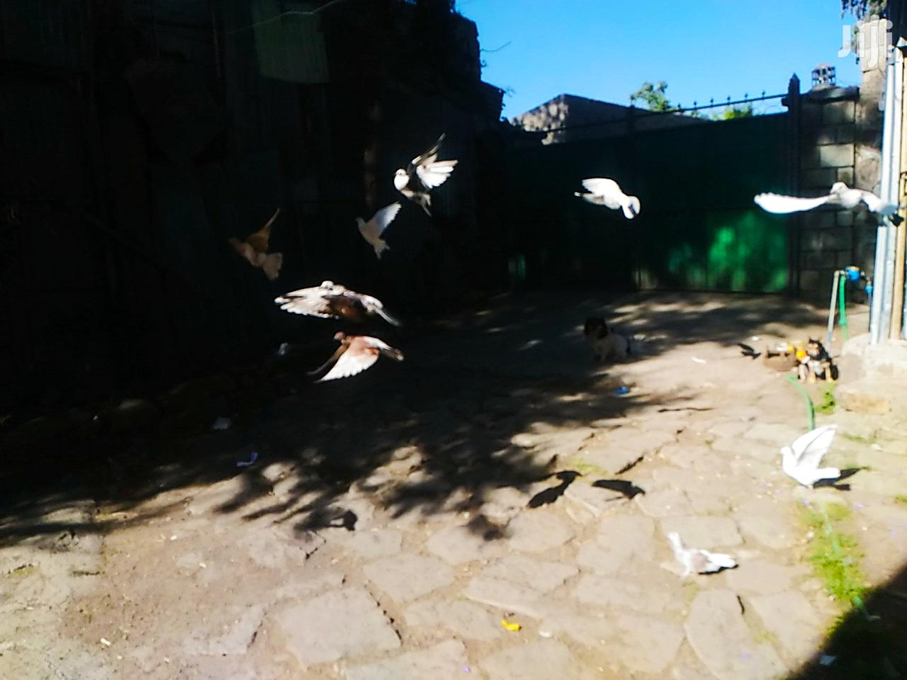 Nice Pigons for Sale | Birds for sale in Bole, Addis Ababa, Ethiopia