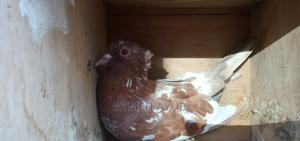 Gofer Pigeon With Less Price | Birds for sale in Addis Ababa, Bole