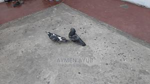 Homing and Racing Pigeon Baby 100birr | Birds for sale in Addis Ababa, Bole