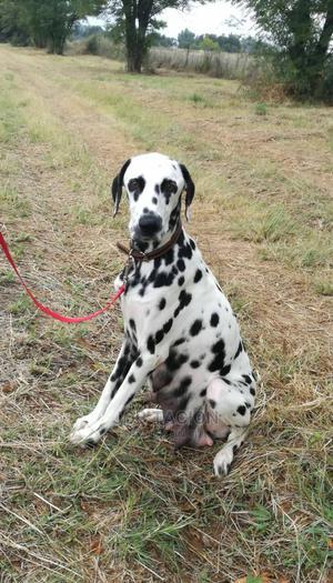 0-1 Month Male Purebred Dalmatian | Dogs & Puppies for sale in Addis Ababa, Bole