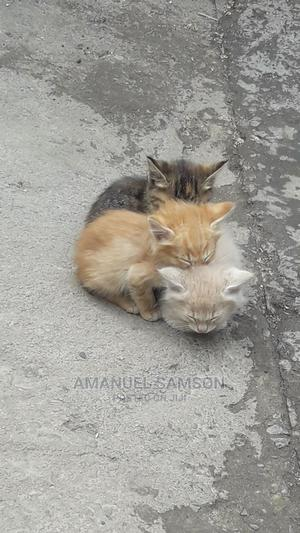 1-3 Month Male Mixed Breed Abyssinian | Cats & Kittens for sale in Addis Ababa, Nifas Silk-Lafto