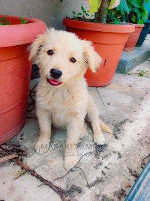 1-3 Month Male Purebred Golden Retriever | Dogs & Puppies for sale in Addis Ababa, Nifas Silk-Lafto
