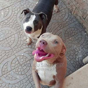 0-1 Month Male Purebred American Pit Bull Terrier | Dogs & Puppies for sale in Addis Ababa, Yeka