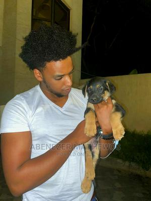 1-3 Month Male Purebred German Shepherd | Dogs & Puppies for sale in Addis Ababa, Akaky Kaliti