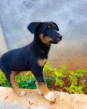 1-3 Month Female Mixed Breed German Shepherd | Dogs & Puppies for sale in Addis Ababa, Nifas Silk-Lafto