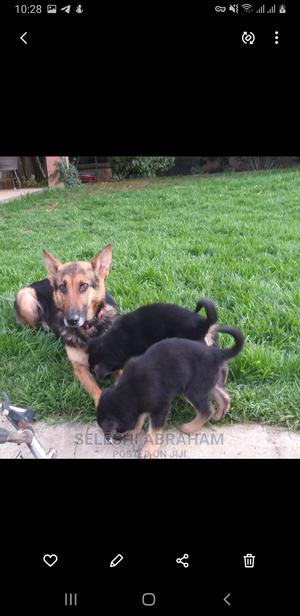 3-6 Month Male Purebred German Shepherd | Dogs & Puppies for sale in Addis Ababa, Bole