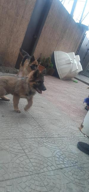1-3 Month Male Purebred German Shepherd | Dogs & Puppies for sale in Addis Ababa, Bole