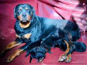 1-3 Month Male Purebred Rottweiler | Dogs & Puppies for sale in Addis Ababa, Nifas Silk-Lafto