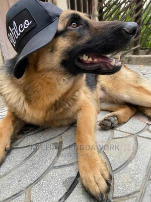 1-3 Month Male Mixed Breed German Shepherd | Dogs & Puppies for sale in Addis Ababa, Yeka