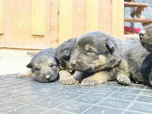 1-3 Month Male Purebred German Shepherd | Dogs & Puppies for sale in Addis Ababa, Kolfe Keranio