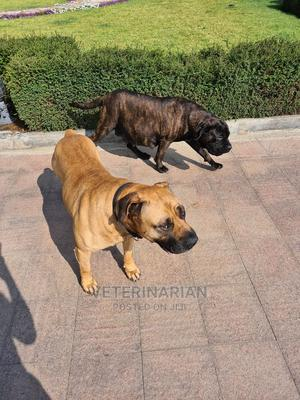 1-3 Month Female Purebred Bullmastiff | Dogs & Puppies for sale in Addis Ababa, Kirkos