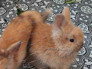 Rabbit 1M 3F | Other Animals for sale in Addis Ababa, Bole