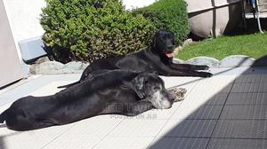 1-3 Month Male Purebred Great Dane | Dogs & Puppies for sale in Addis Ababa, Nifas Silk-Lafto