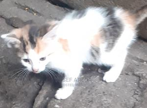 1-3 Month Male Mixed Breed Abyssinian | Cats & Kittens for sale in Addis Ababa, Arada
